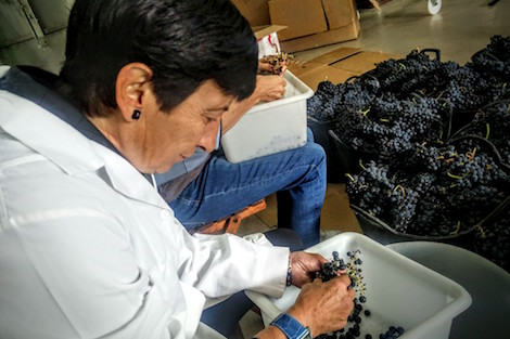 Destemming grapes with Abel Mendoza in Rioja