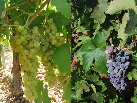 A history of vines and grape varieties in Spain