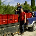 Cajas, cajas, cajas de uva que entrar en bodega. Enviada por Bodegas y Viñedos Alfredo Maestro