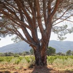 23. Pino centenario en Viña Bonita, de Bodegas Bernabeleva, a los pies del Cerro Guisando, San Martín de Valdeiglesias (Madrid).