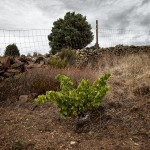 31. Las cepas de Garnacha a 1.000 metros de altura en suelos de pizarra han de ser protegidas en su soledad por muros y alambradas debido al acoso de la fauna salvaje. Bodega Viñas Viejas de Cebreros, Alto de Arrebatacapas, Zona Cebreros (Ávila).